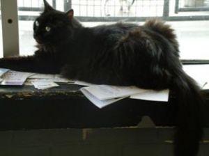 Shelly Domestic Long Hair Cat