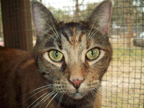 Precious, an adopted Torbie Mix in Tallahassee, FL