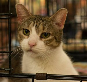 Muffin is a very affectionate cat who is very loving and enjoys people While sh