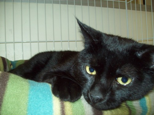 Panther, an adopted Domestic Short Hair Mix in Tallahassee, FL