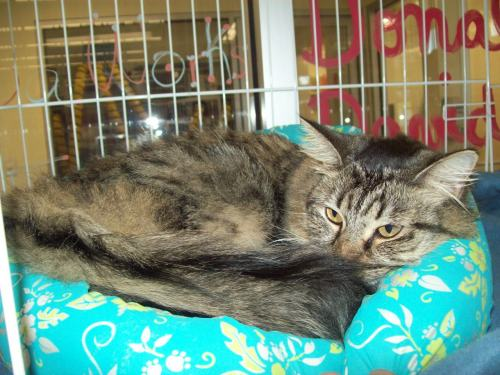 Princess, an adopted Maine Coon & Domestic Medium Hair Mix in Tallahassee, FL
