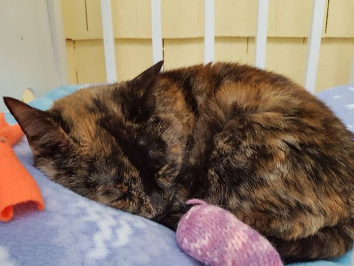 Emma, an adopted Tortoiseshell & Domestic Short Hair Mix in Middleton, NS