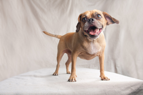 Maylee, an adopted Beagle & Pug Mix in San Diego, CA