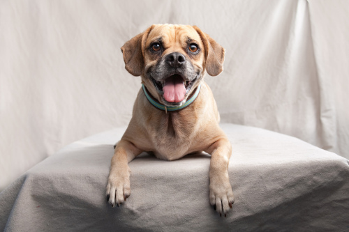 Ty, an adopted Beagle & Pug Mix in San Diego, CA