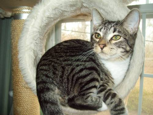 Cupcake, an adopted Tabby Mix in Tallahassee, FL