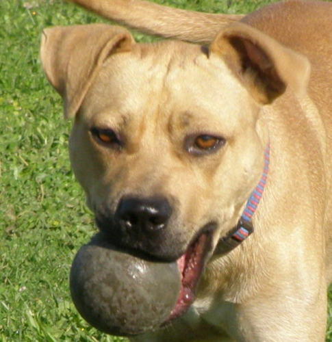 Chance ADOPTED!, an adopted American Staffordshire Terrier & Retriever Mix in West Richland, WA