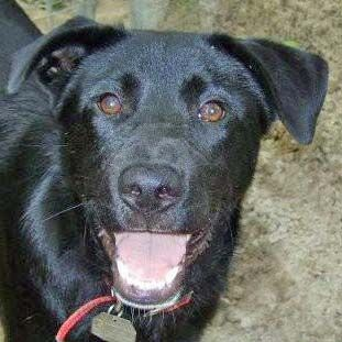 Gus, an adopted Labrador Retriever Mix in Tallahassee, FL