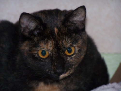 Sweetie, an adopted Tortoiseshell Mix in Tallahassee, FL