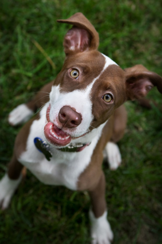 Violet, an adopted Pointer & American Staffordshire Terrier Mix in San Diego, CA