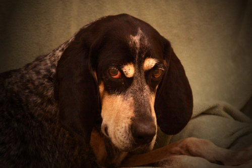 Meko, an adopted Bluetick Coonhound Mix in Viroqua, WI