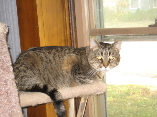 Barney, an adopted Tabby & Tiger Mix in Plain City, OH