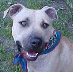 Ethan 4-year old male pit mix 45 lbs neutered house-trained knows basic commands gets along wi