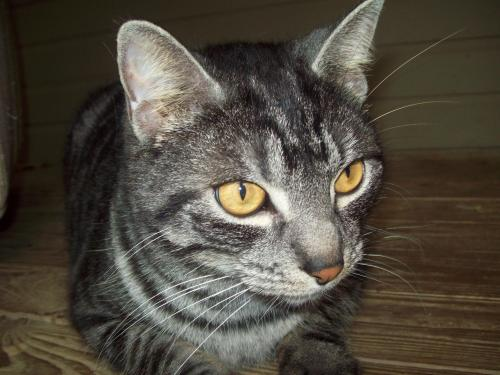 Spencer, an adopted Tabby Mix in Tallahassee, FL
