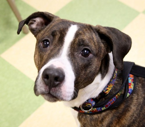 Pearl, an adopted Pit Bull Terrier Mix in Erie, PA
