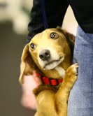 PJ, an adopted Dachshund Mix in Rochester, MN