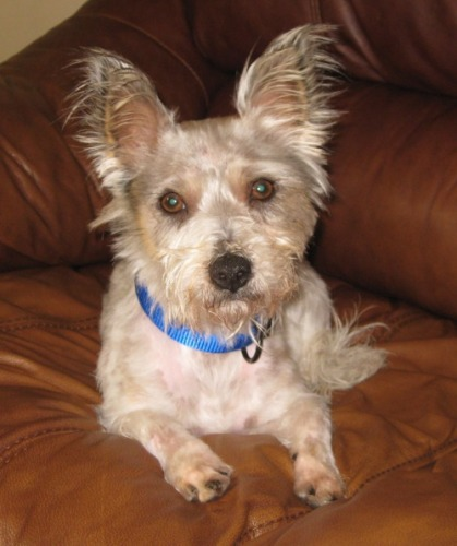 Benny, an adopted West Highland White Terrier / Westie Mix in Beaverton, OR