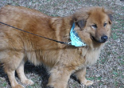 Stafford(VIDEO), an adopted Retriever & Chow Chow Mix in Landrum, SC