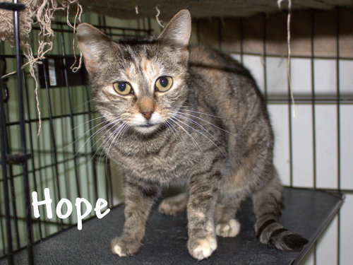 Hope, an adopted Domestic Short Hair in Myrtle Beach, SC