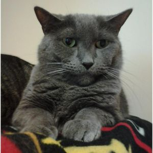 Atlas is a beautiful solid gray male cat with green eyes He has been at Buddy since he was a