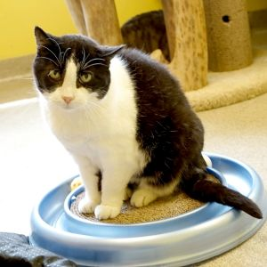 Baby is a gorgeous black and white tuxedo cat with yellow-green eyes and beautiful white whiskers an