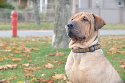 Beau-Adopted!, an adopted Shar-Pei Mix in Mission, BC