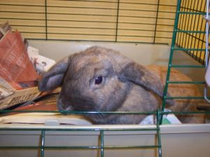 Rabbit for adoption - SPCA Bunnies, a Lop Eared in Atlantic