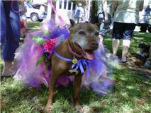 River, an adopted Pit Bull Terrier Mix in New Port Richey, FL