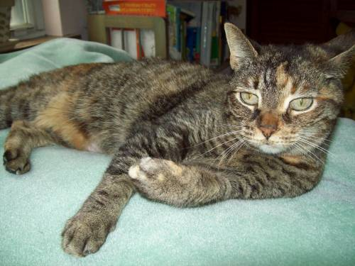 Ebo, an adopted Torbie Mix in Tallahassee, FL