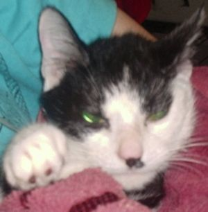 Oreo is a 7 year old neutered male domestic short hair cat Oreo is owner surren