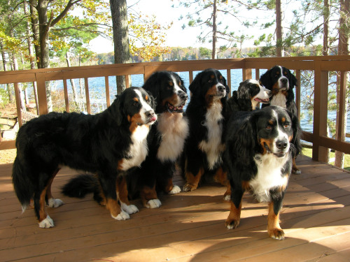 bernese mountain dog puppies for sale in michigan