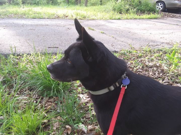 Annabelle, an adoptable Dutch Shepherd & Labrador Retriever Mix in St Charles, MO