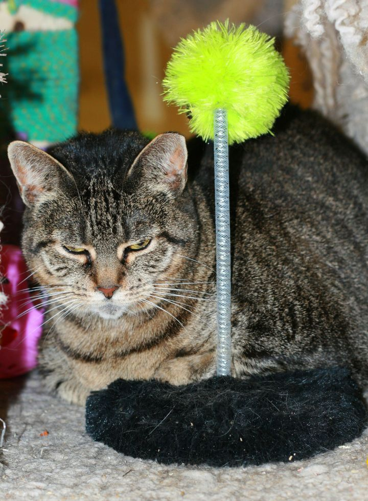 Albany, an adopted Tabby & Domestic Short Hair Mix in Albany, NY