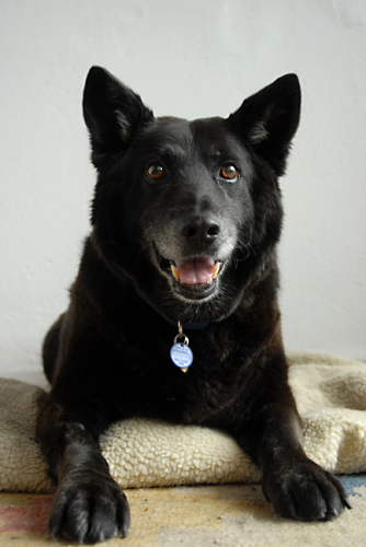 Chad, an adopted German Shepherd Dog & Chow Chow Mix in Los Angeles, CA