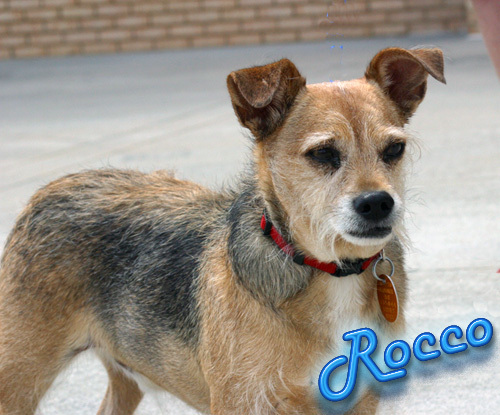Rocco, an adopted Border Terrier & Jack Russell Terrier Mix in Jefferson, GA