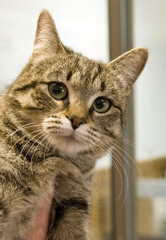 Clover, an adopted Tabby Mix in Fort Smith, NT