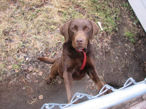Fraser, an adopted Chocolate Labrador Retriever Mix in Fort Smith, NT