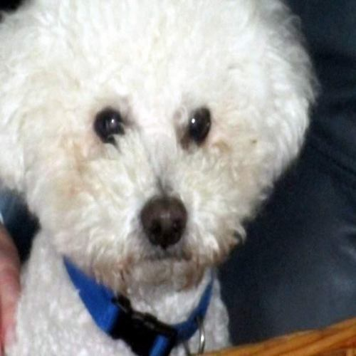 Quincy, an adopted Bichon Frise in Suffolk, VA