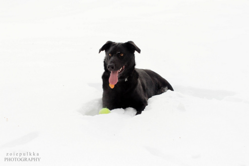 Char, an adopted Labrador Retriever & German Shepherd Dog Mix in Bloomington, MN