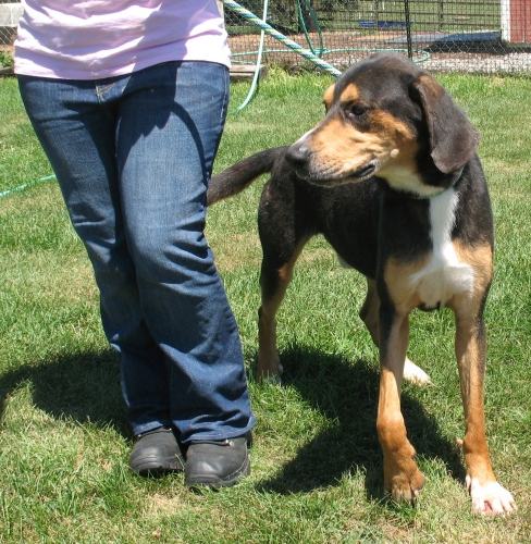 Lucky, an adopted Black and Tan Coonhound Mix in Shippensburg, PA