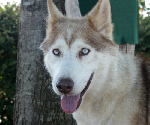 Cosner, an adopted Siberian Husky Mix in Jefferson, GA
