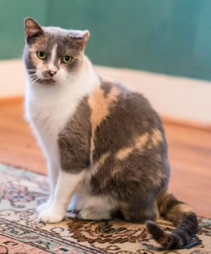 Julie Dilute Calico Cat