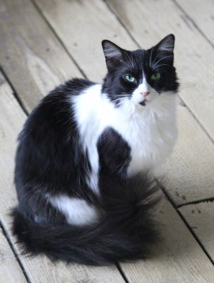 Layla Domestic Long Hair Cat