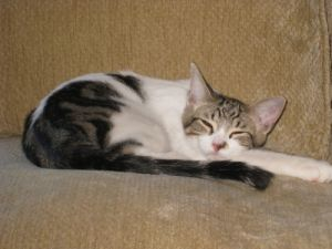Duncan Tabby Cat