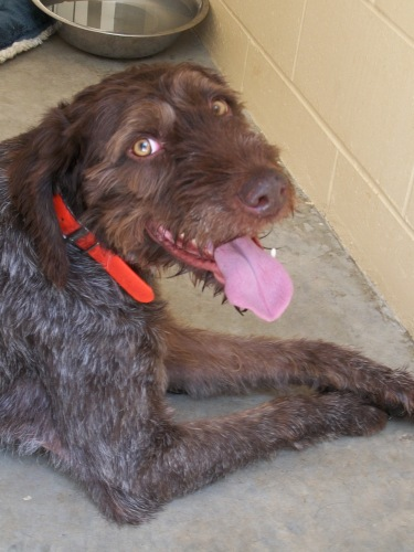 Spencer, an adopted German Wirehaired Pointer Mix in Mankato, MN