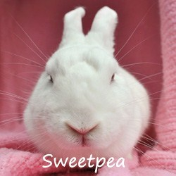Sweetpea 1