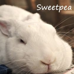 Sweetpea 3