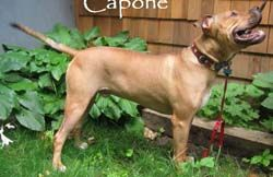 CAPONE, an adopted Staffordshire Bull Terrier Mix in East Derry, NH_image-2