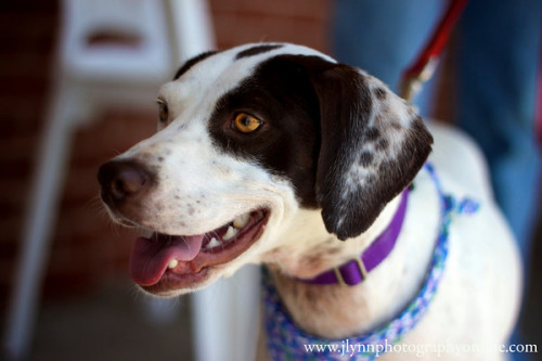 Kailey, an adopted English Pointer Mix in Willingboro, NJ