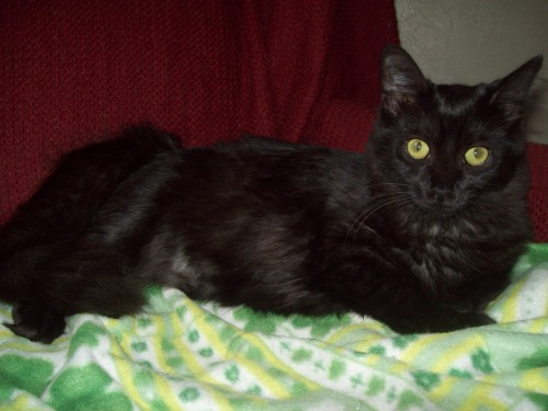 Aruba, an adopted Domestic Medium Hair Mix in Tallahassee, FL