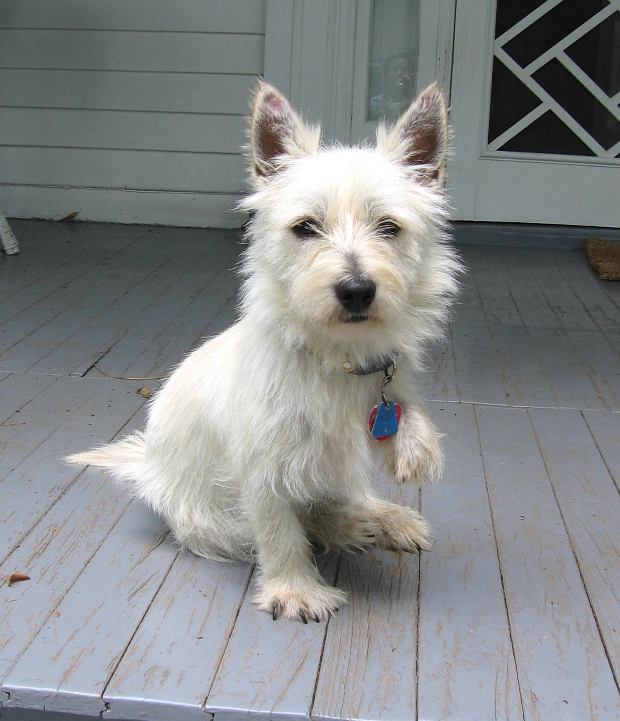 dog for adoption � westies need you near dunn loring va